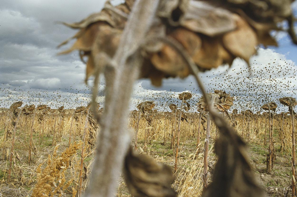 Campagna del Dakota del Sud: girasoli con corvi in lontananza